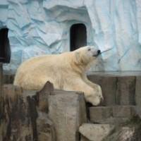 В Берлине умер белый медведь Кнут