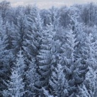 1130127_pine_wood